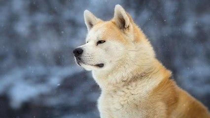Stasera in tv, Hachiko su Rete 4: la curiosità sul cane che non sapevi ancora