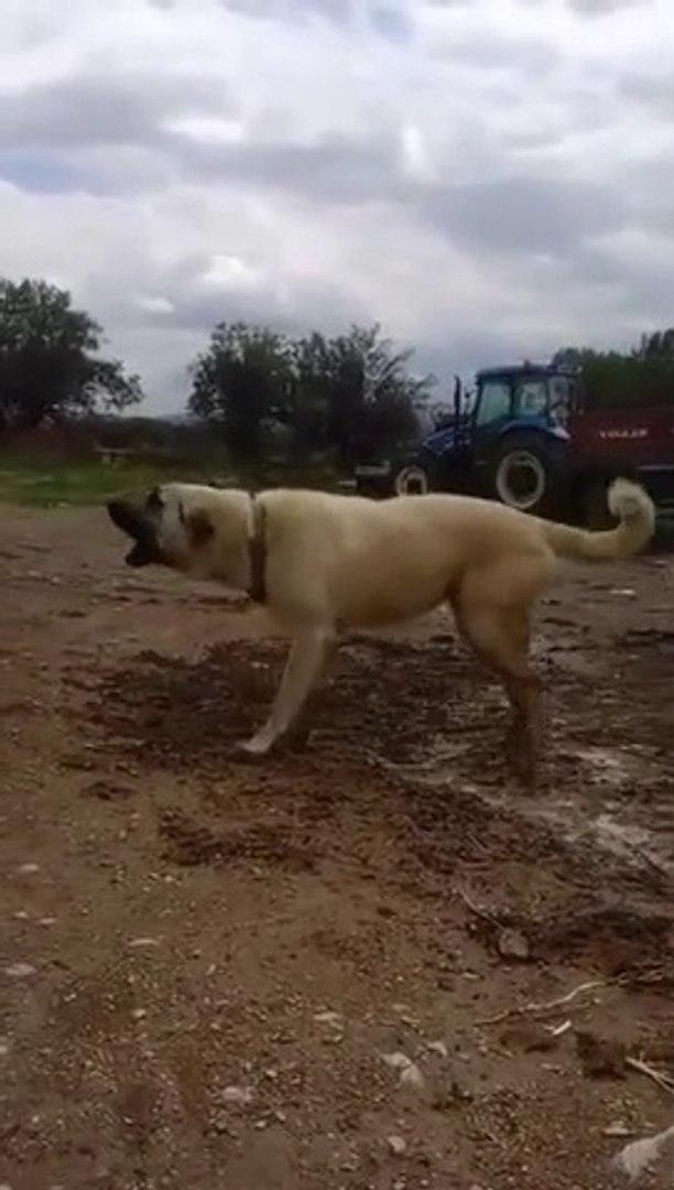 COBAN KOPEGiNi COK KIZDIRMISLAR - ANGRY ANATOLiAN SHEPHERD DOG