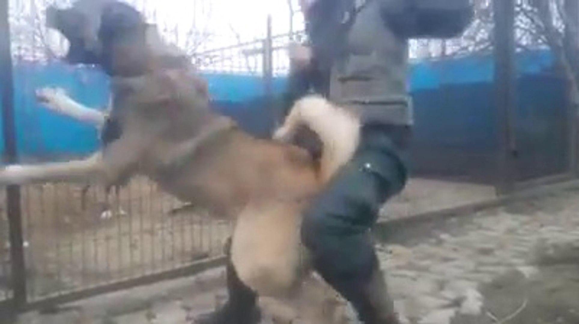 KANGAL ZOR TUTULUYOR COK SiNiRLi - ANGRY KANGAL SHEPHERD DOG