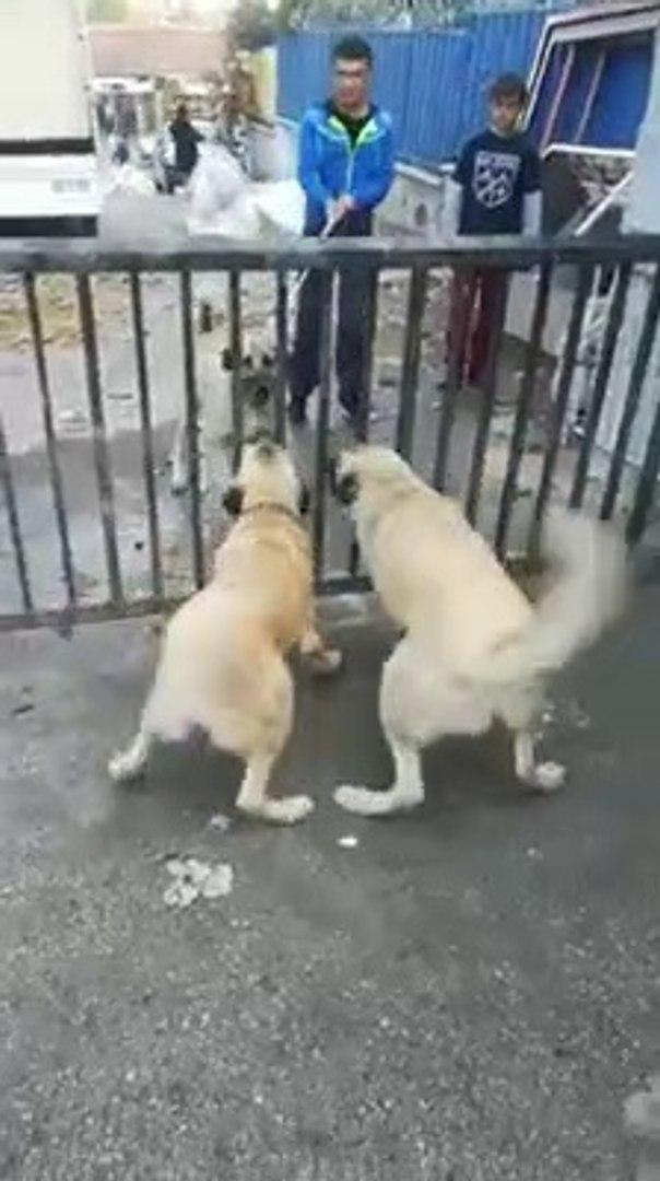 KANGAL KOPEKLERi KARSI KARSIYA ATISMA - KANGAL SHEPHERD DOGS VS