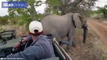 Un éléphant se gratte les fesses contre une voiture de touristes