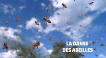 Les abeilles utilisent des danses complexes pour communiquer entre elles