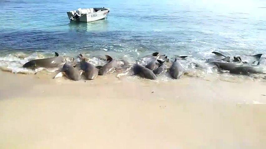Des requins «dansent» sur la plage