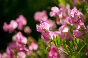 Why You Should Plant Sweet Peas in Your Garden This Year