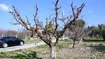 Çiçek açan erik ağaçları meyve tutmaya başladı