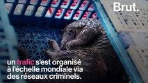 Le pangolin, le mammifère le plus braconné au monde