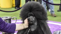 Best In Show-Winning Poodle Had a Surprising Secret Weapon: McDonald's