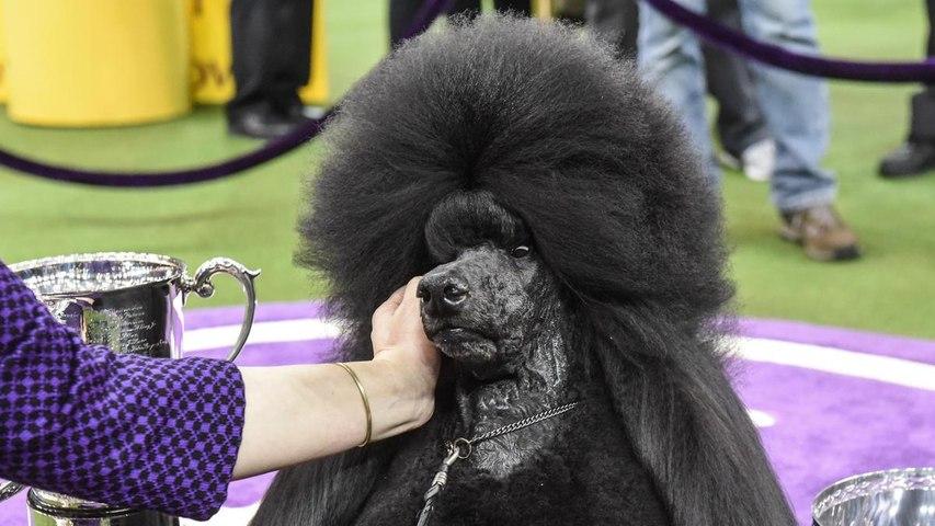 Best In Show-Winning Poodle Had a Surprising Secret Weapon: McDonald's