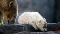 Bébé ours blanc : sa première sortie au Zoo de Vienne !