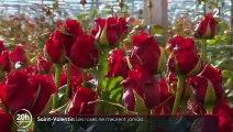 Saint-Valentin : les roses ne meurent jamais