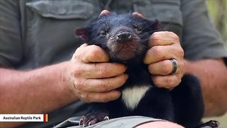 Tasmanian Devil Gets The Kind Of Pampering That We All Could Use