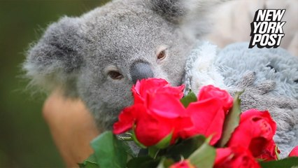 Koala spends her first Valentine's Day showered with love