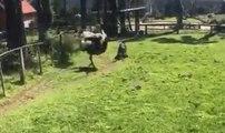 Cet homme n'aurait pas dû sauter dans un jardin où des autruches se sont incrustées !