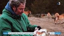 Lozère : une terre d'asile pour les chevaux de Przewalski