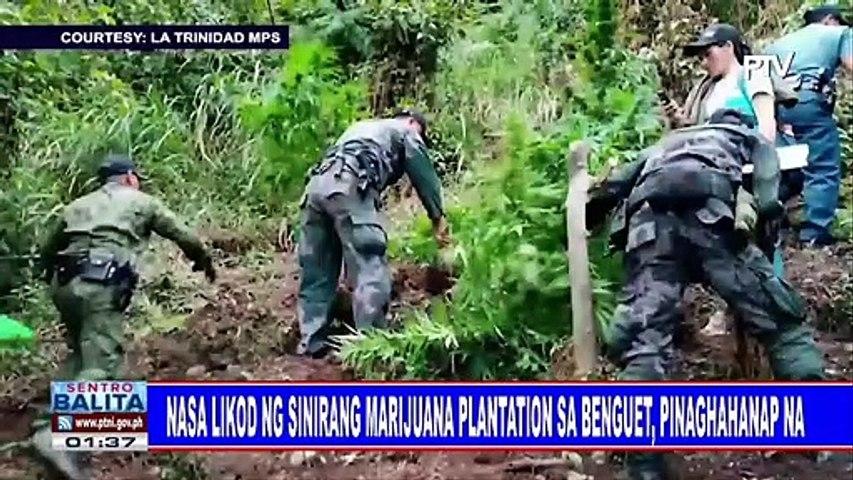 Nasa likod ng sinirang marijuana plantation sa Benguet, pinaghahanap na