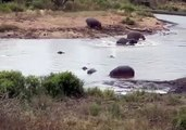 One moose against two crocodiles