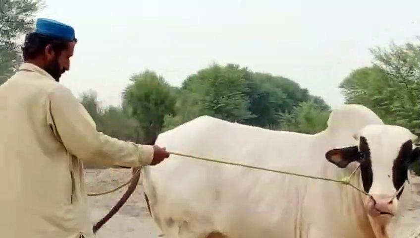 Cattle farms 2020 – cow walks – cow mandi –