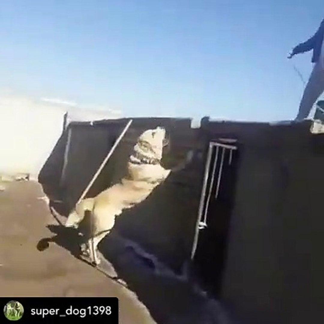 iRANLILARIN DELiRMiS COBAN KOPEGi - CRAZY iRANiAN SHEPHERD DOG