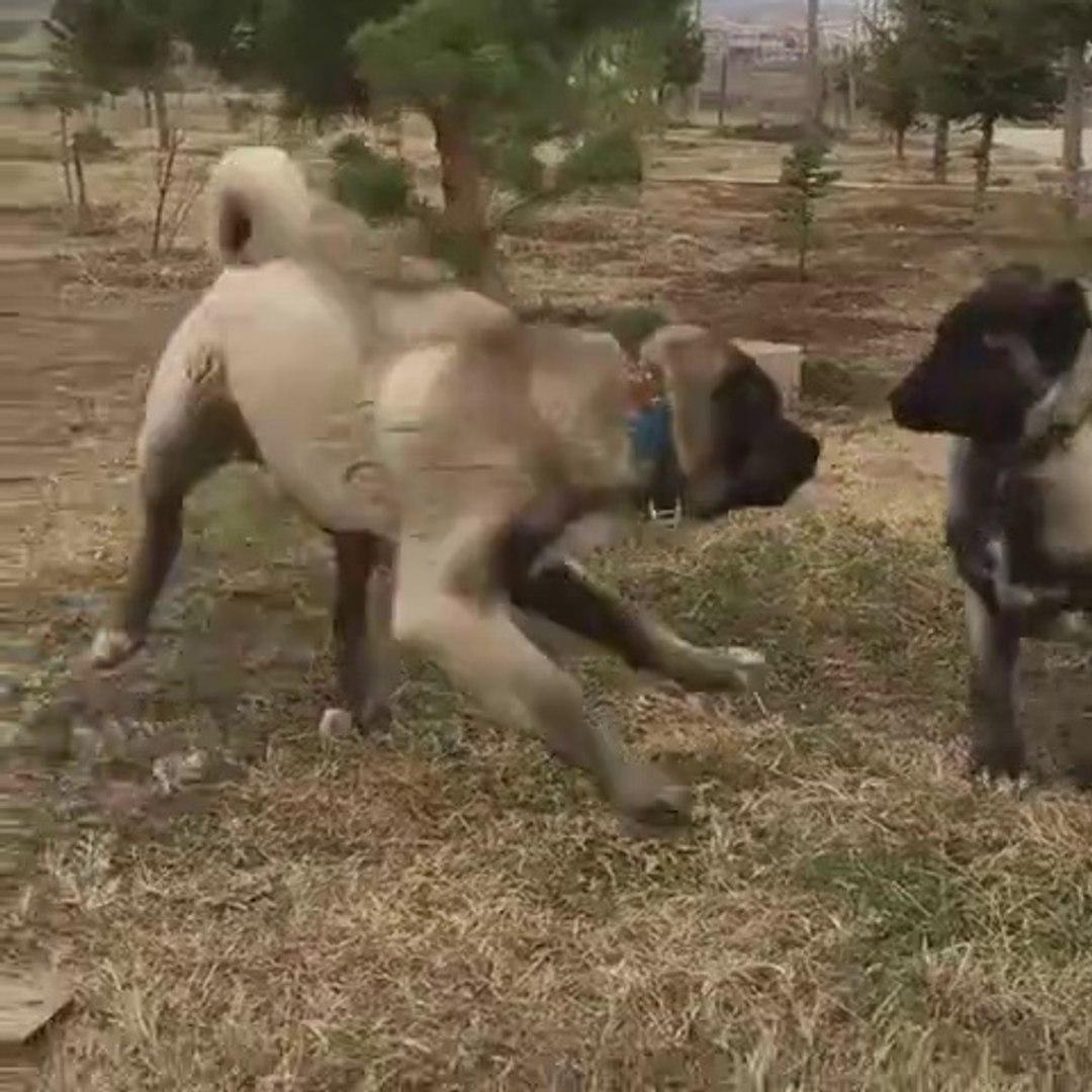KARABAS KANGAL KOPEKLERi VS - BLACK HEAD KANGAL DOGS VS