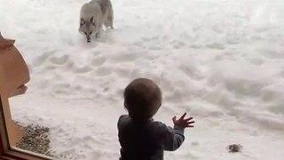 Une meute de loups rend visite à cette famille en vacances dans leur chalet au Quebec