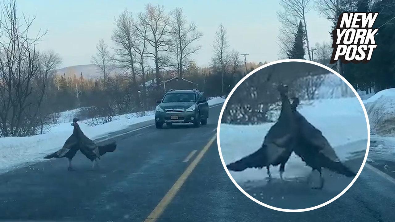 Wild turkeys tangled in an epic bird battle