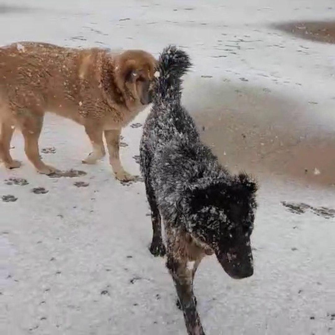 KAR ve iRAN COBAN KOPEKLERi - SNOW and iRANiAN SHEPHERD DOGS