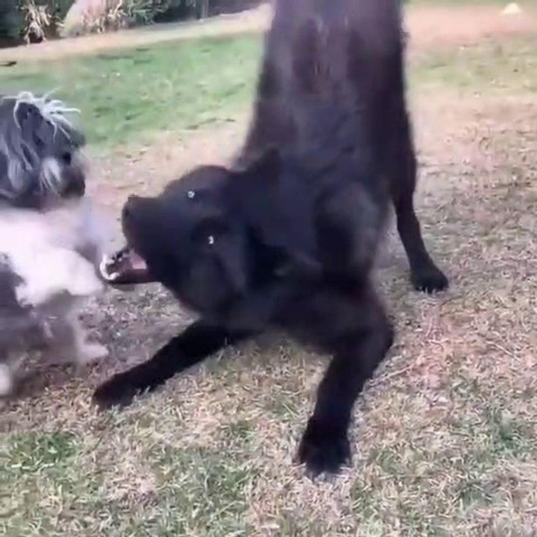 KARAKURT vs SUS KOPEGi - BLACK WOLF vs. FANCY DOG
