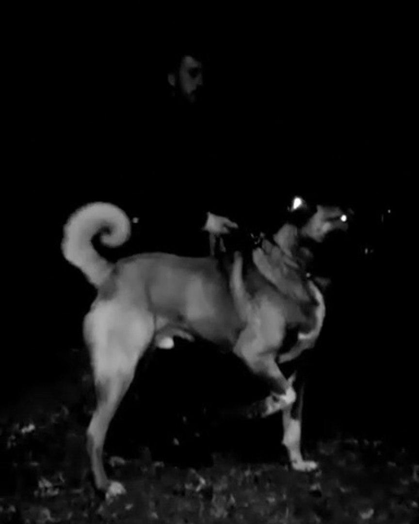 SiVAS KANGAL KOPEGiNDEN GECE CIKARMASI - KANGAL SHEPHERD DOG