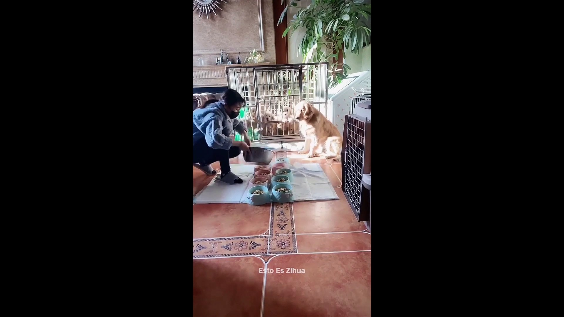 Cute labradore puppies Video collection