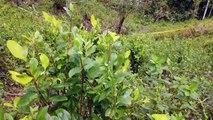 Policía colombiana allana plantaciones de coca en Tumaco