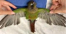 Grâce une greffe de plumes sur les ailes, ce perroquet peut voler à nouveau