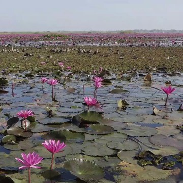 Hundreds of waterfowl land on lake of red lotus flowers in Thailand