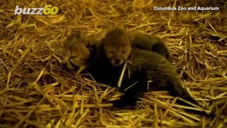 The Birth of These Baby Cheetahs at the Columbus Zoo is the First of its Kind
