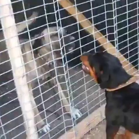 SiVAS KANGAL KOPEGi ve ROTTWEiLER ATISMA – KANGAL DOG VS ROTTWEiLER