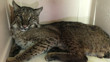 Hit By Car Bobcat Gets Rescued