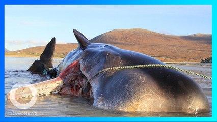【海洋汚染】スコットランドの海岸に打ち上げられたマッコウクジラ 胃の中から100キロのゴミ- トモニュース