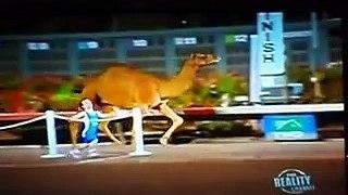 Course de nains contre un chameau... à la TV !