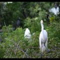 Brazilian birdsong, white heron, little bird, free birds in nature | Nature is Amazing