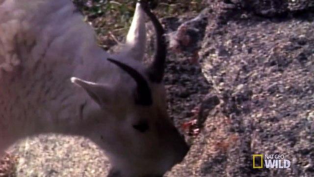 Death Dodging Goat - Big Cat Week