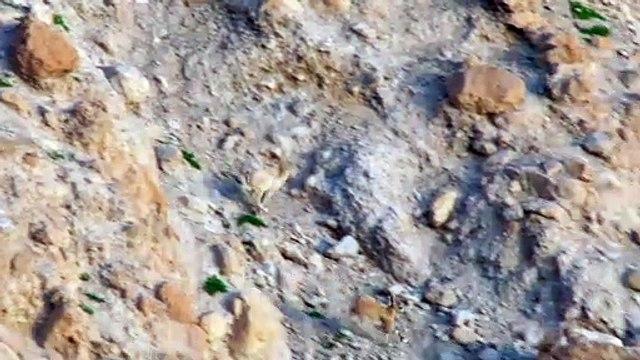 Baby ibex descends mountains to escape a fox - Planet Earth II- Mountains - BBC