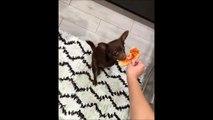 Ce chien n'imaginait qu'il serait si compliqué de manger une pizza