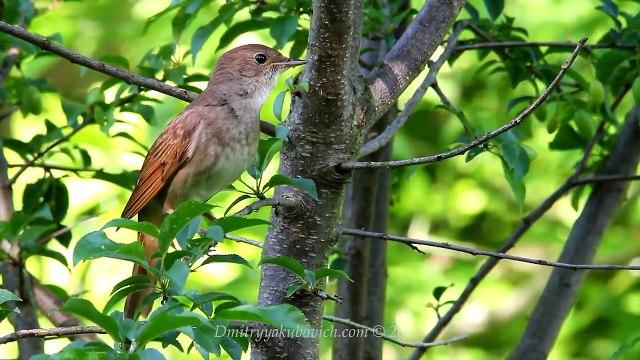 Singing nightingale. The best bird song.