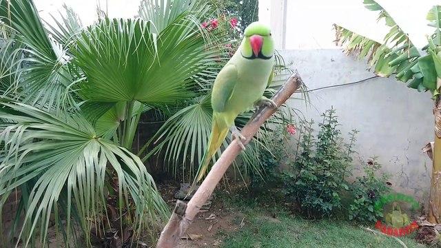Natural Parrot Voices