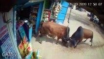 Brawling Bulls Tear Apart Corner Store