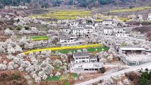 Stunning drone footage of blooming cherry blossoms in south China