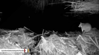 Get Off My Lawn: Beaver Protects Its Territory Against Raccoon