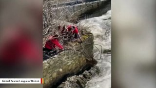 Beaver Saved From Raging Waters In Dramatic Rescue Video