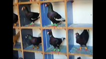 world Unique amazing pigeon farm - fancy pigeon loft - fancy Pigeons breedingpairs.