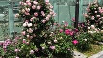 東京、日本のストリートローズ。 素敵でロマンチックな - Street Roses in Tokyo, Japan. Wonderful and Romantic