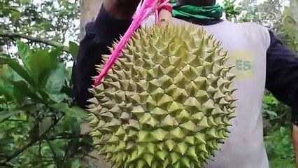 Durian Elang dari Wonosalam Jombang, Sudah Dipesan meski Belum Matang